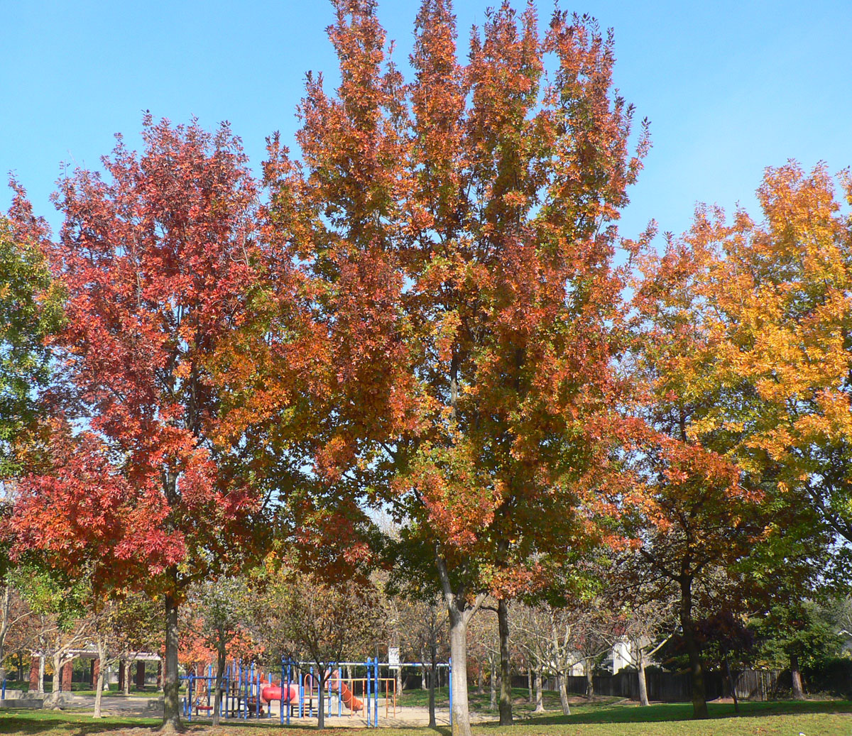 Scarlet Oaks in Fall